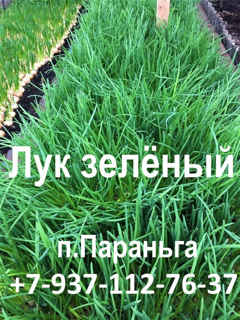 Продам зелный лук
